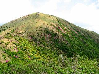 涌蓋山頂上手前の斜面に咲くミヤマキリシマ